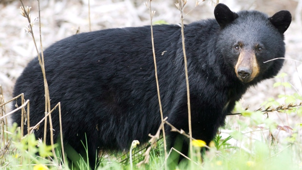 A black bear roams the forest near Timmins, Ont., on Sunday, May 27, 2012. (Nathan Denette / THE CANADIAN PRESS)